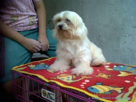 dunia anjing jual anjing maltese maltese betina
