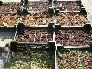 Extensive Dachbegrünung Pflanzen : sedum sedumpflanzen zur dachbegr nung pflanzen ~ Frokenaadalensverden.com Haus und Dekorationen