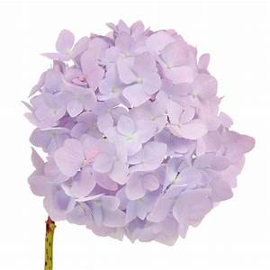 Beautiful Light Purple Hydrangea Flowers On White ...