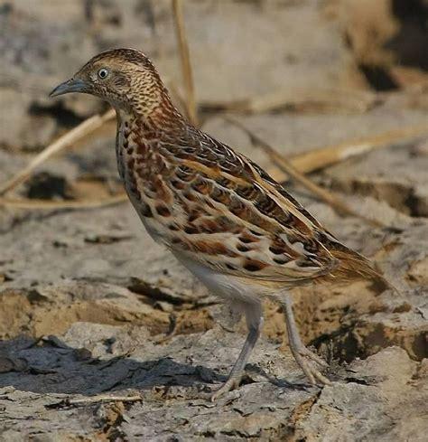 buttonquail turnix sylvaticus common hemipode quail button andalusian male bird lynxeds ibc partir guardado open livestock