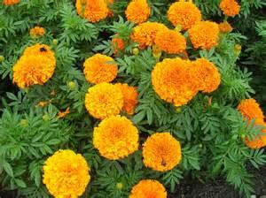 eatable fruit how to grow marigold gardening marigold growing
