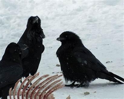 Ravens Raven Smarter Than Animated Crows Birds