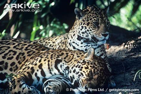 amazing jaguar habitat 1623 best images about