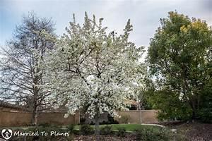 A flowering Evergreen Pear Tree (Pyrus kawakami) tells us