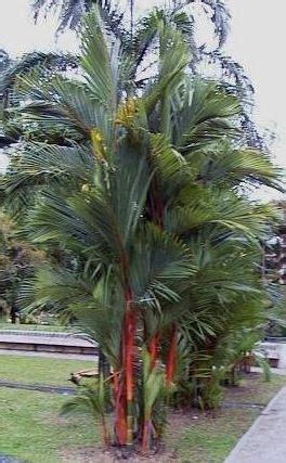 Cyrtostachys Renda Palmeira Laca | Search Results | 3NTER ...