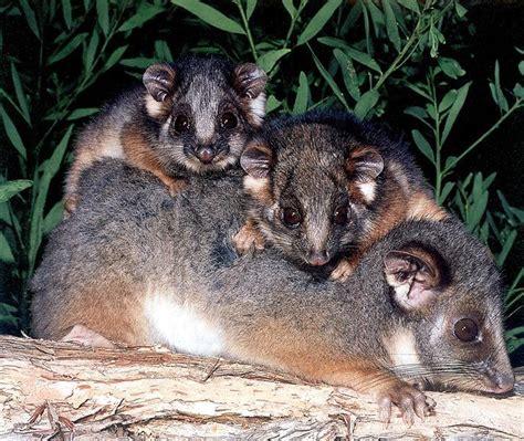 greater glider possum brushtailed phascogale