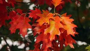 Download, Wallpaper, 3840x2160, Leaves, Autumn, Red, October, 4k, Uhd, 16, 9, Hd, Background