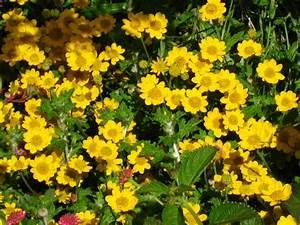 Welche Pflanzen Eignen Sich Für Einen Steingarten : 10 gelb bl hende stauden f r den sonnigen steingarten ~ Michelbontemps.com Haus und Dekorationen