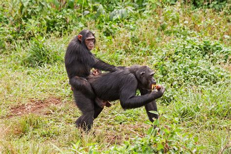 animals examples omnivorous chimpanzee young animal mammals chimpanzees unexpectedly awesome