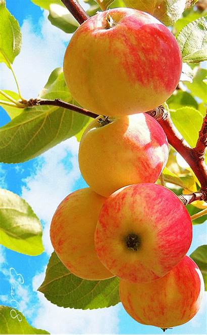 Apples Keeps Doctor Away Foods Healthy источник