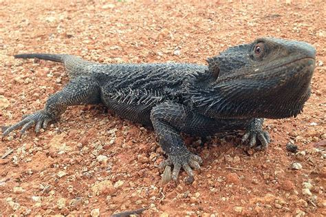 what kind of heat l for bearded dragon bearded dragons switch in the heat news in science