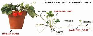 How To  Grow Strawberry Runners  A Complete Step By Step