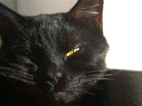 fileblack cat  furry whiskers jpg  work
