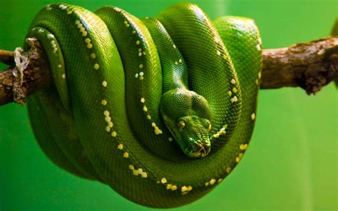 Green Animal Wallpaper - green snake animal wallpaper dreamlovewallpapers