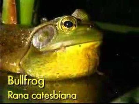 bull frog call youtube