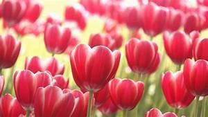 Tulpenzwiebeln Im Frühjahr Pflanzen : tipps tulpen im garten richtig pflanzen und pflegen ~ A.2002-acura-tl-radio.info Haus und Dekorationen