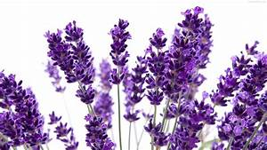 Lavender Flowers Purple | Hd Wallpapers