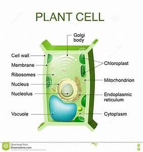 Anatomy Of Chloroplast