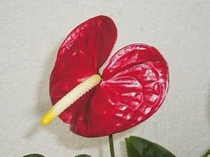 Anthurie Im Wasser : anthurium andreanum nach 2 jahren majas pflanzenblog ~ Yasmunasinghe.com Haus und Dekorationen