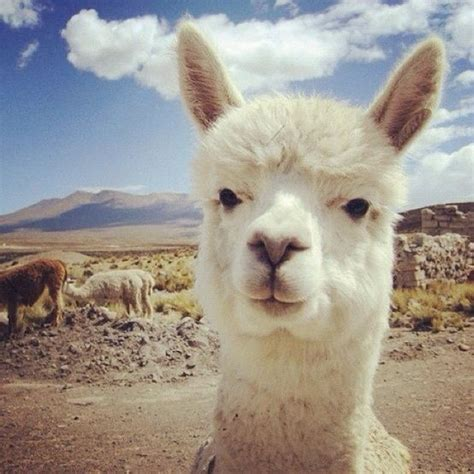 Cute Animals, Peru And Country On Pinterest
