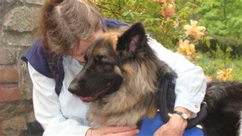 dakota  gsd psychiatric service dog