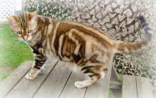 tiger cat breed tiger cat breed breeds picture
