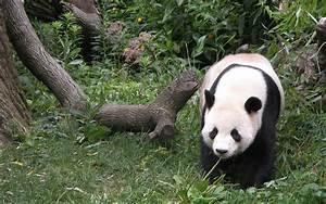 Panda Bear wallpaper - 274648