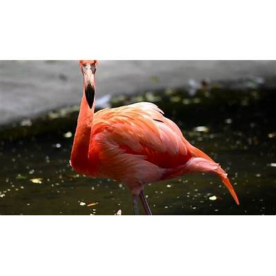 Caribbean Flamingo(Phoenicopterus ruber) @ Kadoorie Farm