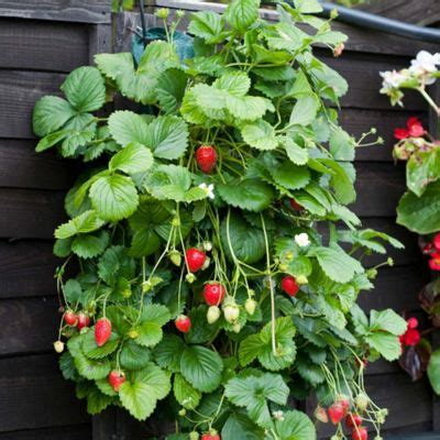 hanging strawberry planter buy hanging strawberry planter 3 planters from our