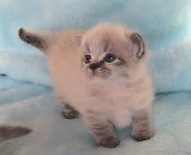 how much are munchkin cats munchkin cat napoleon a waddle kitten