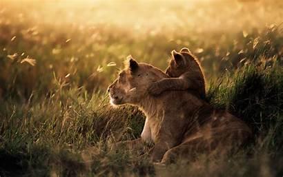 Animals Lion Nature Anime Savannah Wallpapers Animal