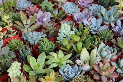 succulent photo 2 quot assorted succulent succulents for sale bulk succulent wedding favors