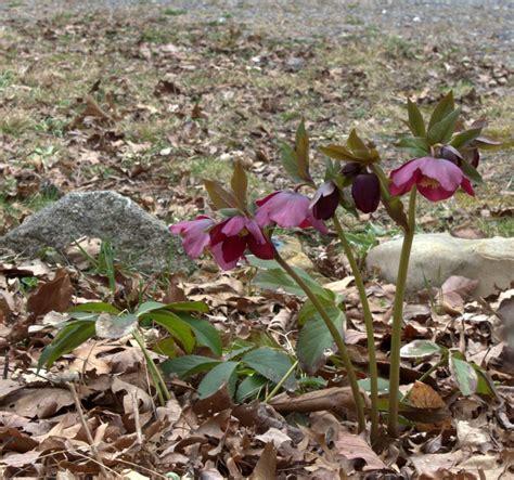 hellebores growing conditions top 28 hellebores growing conditions plant profile for helleborus 215 nigercors st martin