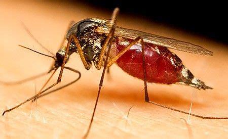 mittel gegen stechmücken nat 252 rliche mittel gegen m 252 ckenstiche heilpflanzen kr 228 uter gew 252 rze und ihre eigenschaften