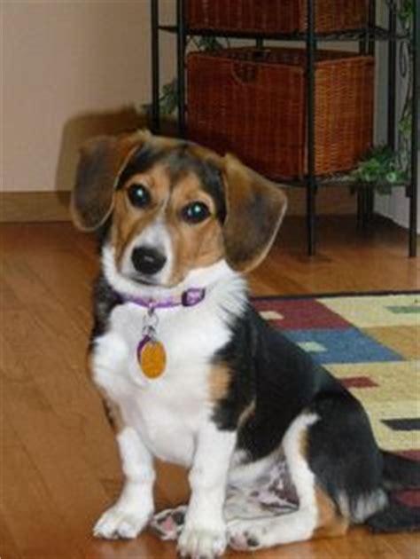 beagle mix  pinterest adoptable beagle dogs