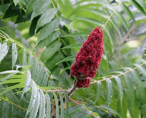 sumac tree temperate climate permaculture permaculture plants sumac