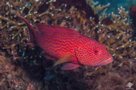 grouper yellow lyretail edged facts seaunseen photographs tail cod rock lunar lyre