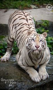 White Tiger Crouching   C.S.Ling Photography   Wildlife In ...