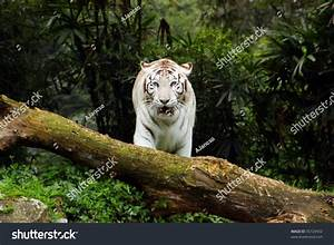 White Bengal Tiger Ready Attack Stock Photo 35724952 ...