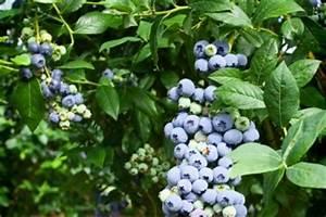 Wann Heidelbeeren Pflanzen : erntezeit von heidelbeeren wann sind sie reif ~ Orissabook.com Haus und Dekorationen