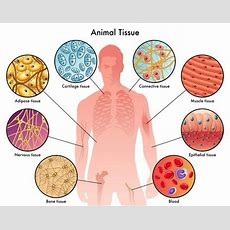 Types Of Human Tissue  Science For Secondary Grades Biology, Chemistry, Physics And More