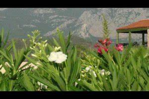 Oleander Zurückschneiden Video : video oleander zur ckschneiden so machen sie 39 s richtig ~ Lizthompson.info Haus und Dekorationen