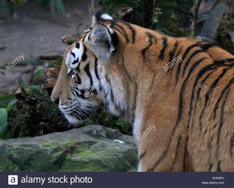 Tigre Siberiano Stock Photos