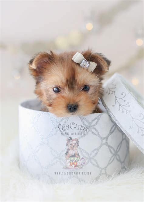 Adorable Maltese Here!  Teacups, Puppies & Boutique