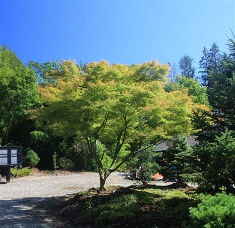 maple garden great falls acer palmatum dissectum seiryu cutleaf japanese maple