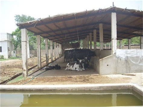 Dairy Cow Shed Design - pak dairy info sairy shed designs