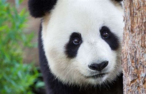 giant panda conservation program zoos south australia