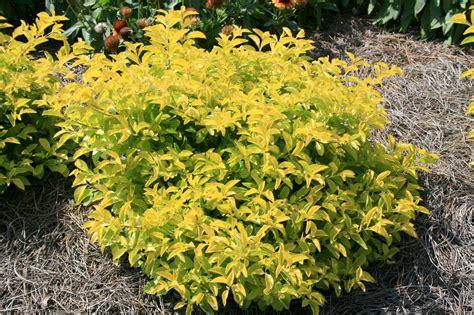 tropical duranta adds interest  area gardens