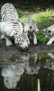 Amazing wildlife. White Tiger with babies and water photo ...