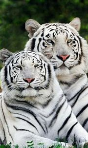 Pin by Lisa Sexton on *~ Big Cats ~ Felidae ~* | Wild cats ...